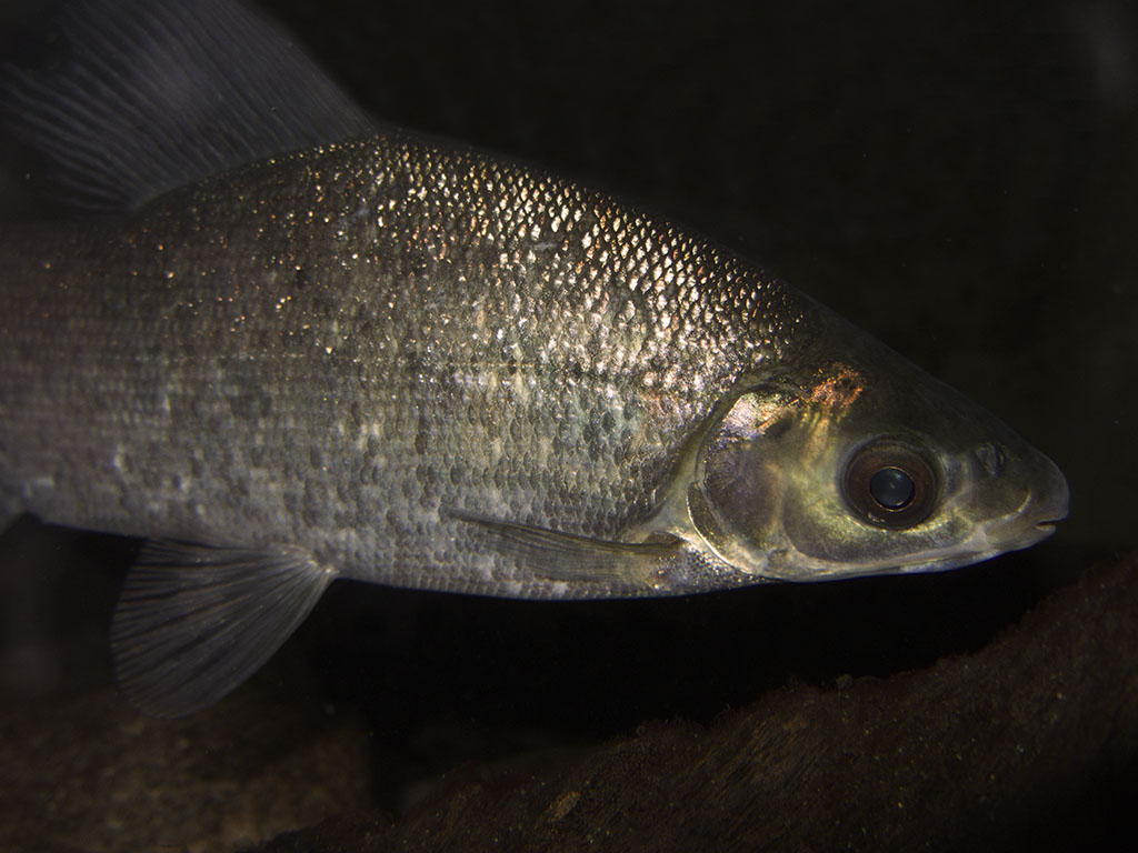 En av våra Distichodus fiskar, bland våra största