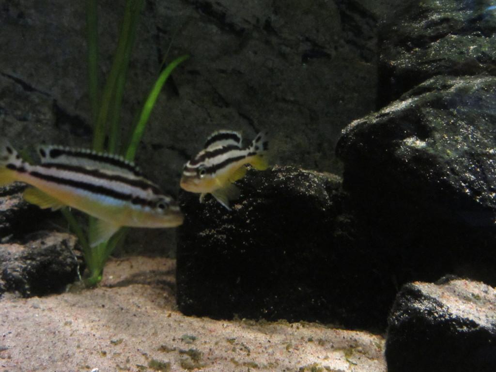 Auratus från Sjön Malawi.