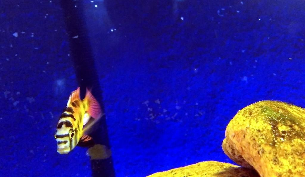 13 haplochromis